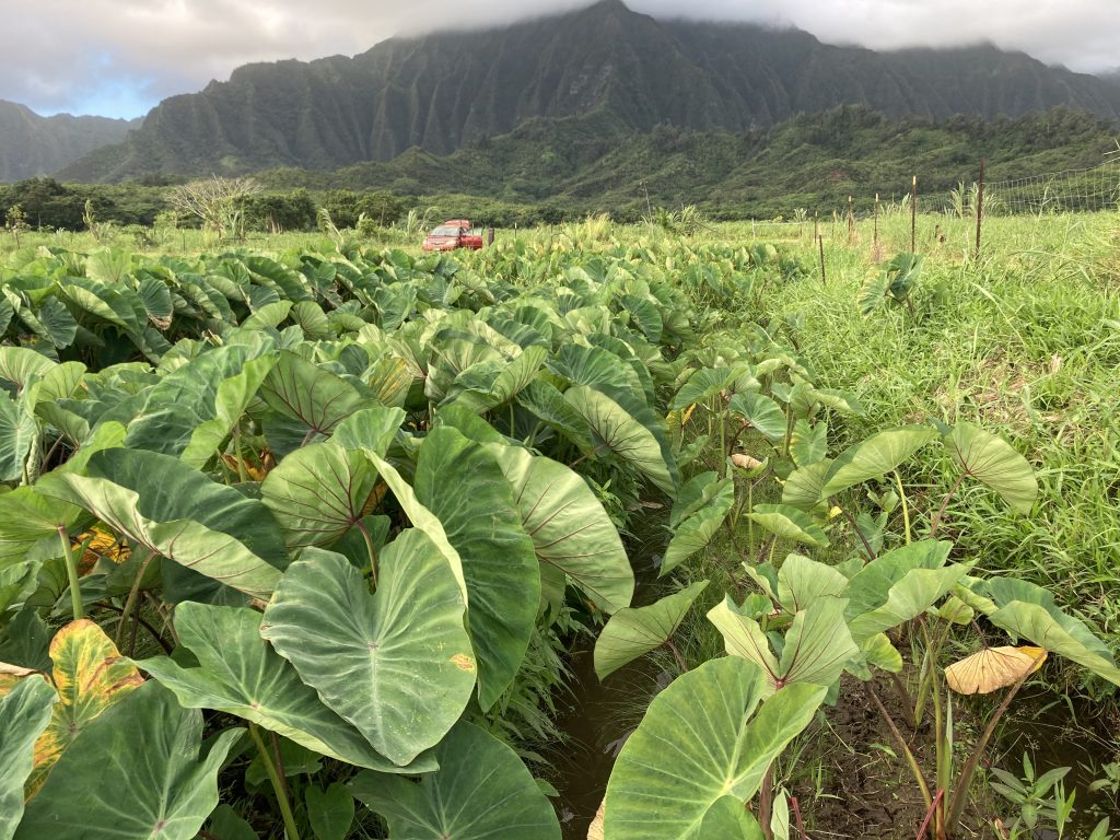 Field of taro positioned in front of a green water-carved mountain